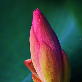 Lotus Flower by Praveen Kulshreshtha - Flowers Flower Buds (  )