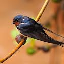 Golondrina común (Barn swallow)