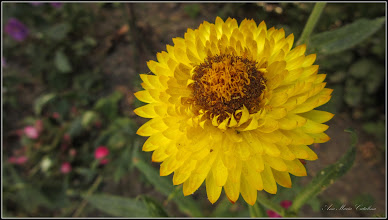 """Photo: Flori de pai, Imortela, """"Margareta de hartie"""" sau """"Aurul vesnic"""". (Helichrysum bracteatum), """"  din Turda, Aleea Plopilor - 2019.09.04"""