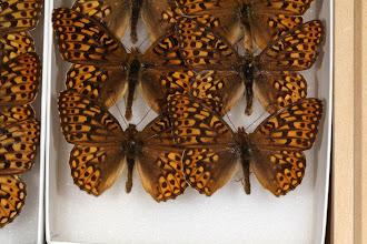 Photo: Speyeria egleis macdunnoughi (Gunder, 1932) - The Egleis or Great Basin Fritillary