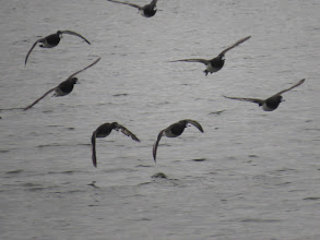 Photo: Priorslee Lake One shot of a rather restless group of Tufted Duck: the lower left bird – a duck – shows a rather ragged left wing. (Ed Wilson)