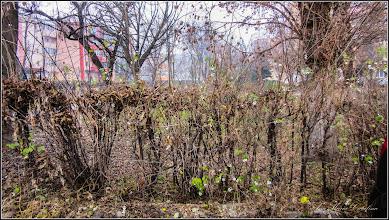 Photo: Hurmuz  (Symphoricarpos) - de pe Calea Victoriei, alee Mr.2 - 2015.11.27