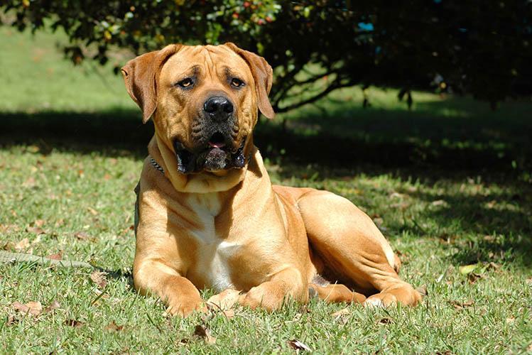 How to get a Boerboel puppy - Elite Boerboels helps
