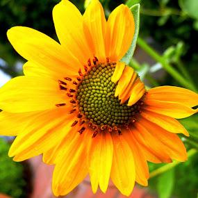 Hello there by Vikas Jorwal - Flowers Single Flower ( single, nature, sunflower, flower, yellow flower,  )