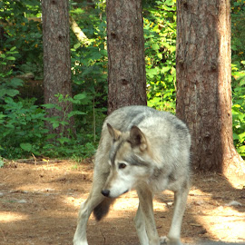 Cree the wolf by Bradley Mclaughlin - Novices Only Wildlife ( nature, wolf, outdoor, wildlife, animal )