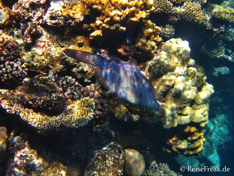 Besenschwanzfeilenfisch (Aluterus scriptus)