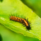 Gulf fritillary caterpillar, (2nd instar)