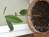 Photo: Week 16 - 23 cm / leaf 8.5 cm