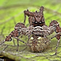 Portia Jumping Spider