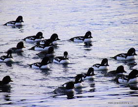 Photo: Barrow's Goldeneyes on Resurrection Bay