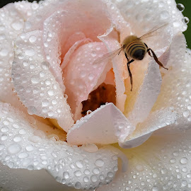 by Zhenya Philip - Nature Up Close Natural Waterdrops ( water, nature, bee, macro photography, wildlife,  )