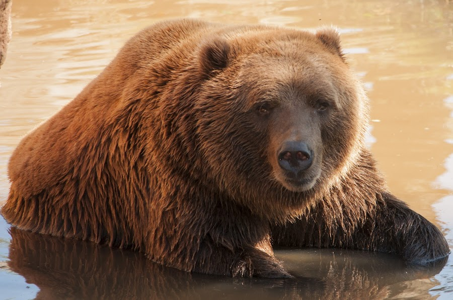 Bear enjoying the water by Jason Jeep Rutter - Animals Other Mammals