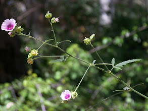 Photo: Althaea cannabina