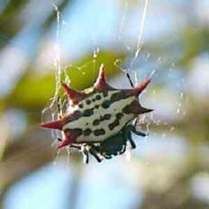 Spiny-backed Spider