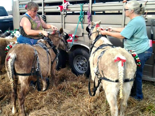 Dressing the ponies - Koalah & Bit for Broadway, NC Christmas Parade 2012