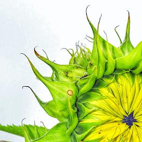 Curly sunflower by Pamela Hammer - Digital Art Things ( nature, digital art, sunflower, flower )