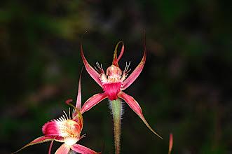 Photo: Caladenia ferruginea