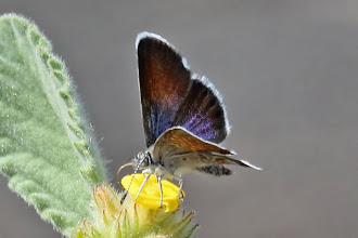Photo: Western Pygmy Blue