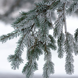 Snowy Pine by Dale Minter - Nature Up Close Trees & Bushes