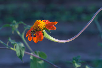 Photo: Being Brilliant - A photo from 8 years ago with a Canon 40D, this archive photo shows a bee easily finds a target in this brilliant orange flower at The Farm, an arts community, gardens and restaurant in Phoenix, Arizona.