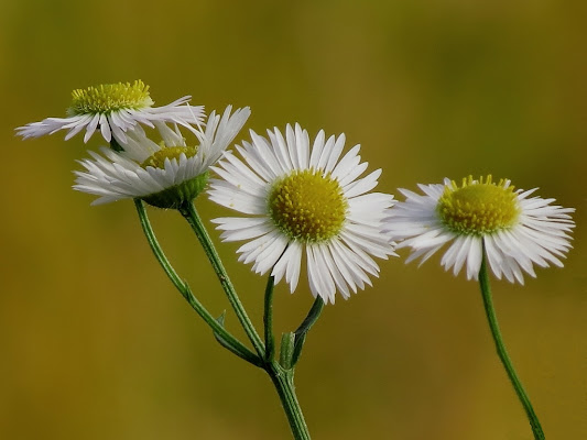 Bellezza in fiore di MauroMgl
