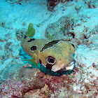 Black-blotched porcupinefish
