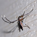 White-footed Mosquito (Female)