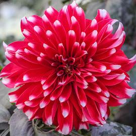 Rw! by Mohsin Raza - Flowers Single Flower (  )