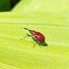 Leaf rolling weevil