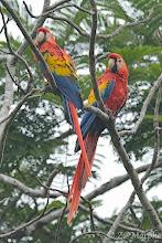 Photo: Scarlet Macaws @ Jaco