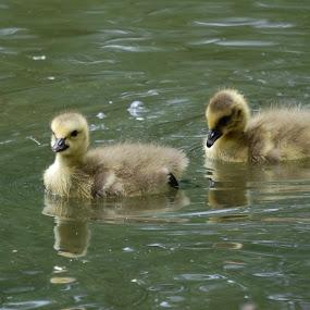 Goslings by Angel Harvey - Novices Only Wildlife ( babies, goslings, geese )