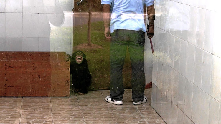 A young chimpanzee is threatened by its keeper.
