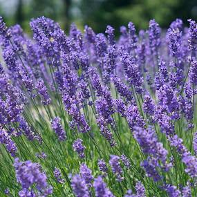 Lilac  by Donna Davis Kasubeck - Flowers Flower Gardens (  )