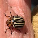 (Colorado) Potato beetle