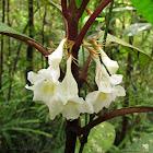 Cyrtandra Flowers