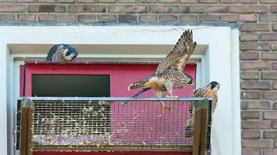 Photo: ... en vliegen, ho maar! En nummer drie was trouwens het jonge vrouwtje [BBU].