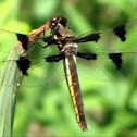 Dragonfly (common white tail)