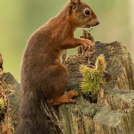 Red Squirrel with food by Barry Smith - Animals Other Mammals ( squirrel, mammals, nature, animals, wild, wildlife )