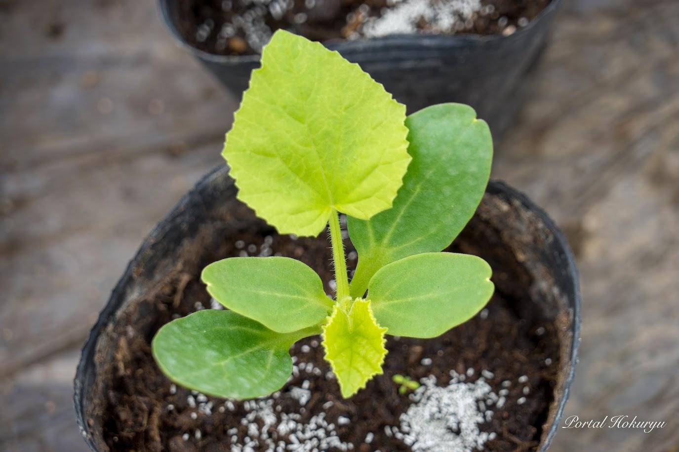 メロンの本体から新芽が出ています