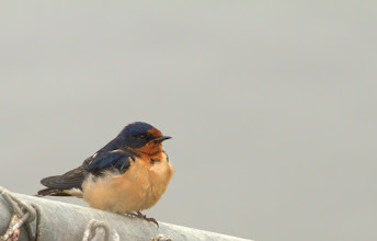 Photo: Barn Swallow
