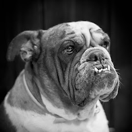 Asia by Giovanni Bartolomeo - Animals - Dogs Portraits ( dogs, black and white, portrait, dog, dog portrait )