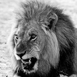 Dracula at Moremi in Botswana. by Lorraine Bettex - Black & White Animals