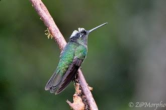Photo: Magnificent Hummingbird @ Paraíso Quetzal Lodge, Cerro de la Muerte