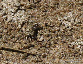 Photo: Can you find this tiny crab in the sand on Peso Island?
