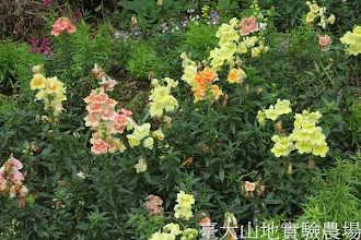 Photo: 拍攝地點: 梅峰-溫帶花卉區 拍攝植物: 金魚草 拍攝日期: 2013_12_20_FY