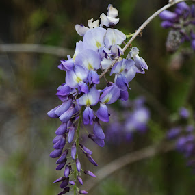 by Mike Zegelien - Flowers Flowers in the Wild ( spring flowers, wildflowers, nature, wisteria, nature close up )