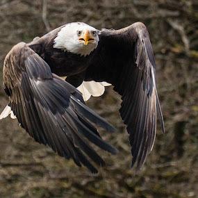 by Ralf  Harimau - Animals Birds ( freisen, eagle, weisskopfseeadler, vogel, adler, white bald eagle,  )