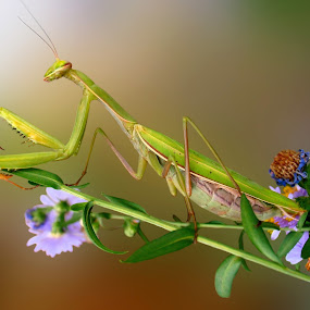 Green praying mantis by Snezana Petrovic - Animals Insects & Spiders ( green, praying, mantis, flowers, on purple )