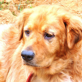 Shaggy by Angela Bono - Animals - Dogs Portraits ( fluffy, sitting, copper, dog portrait, pretty )