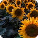 Sunflower Wallpapers – HD Backgrounds icon